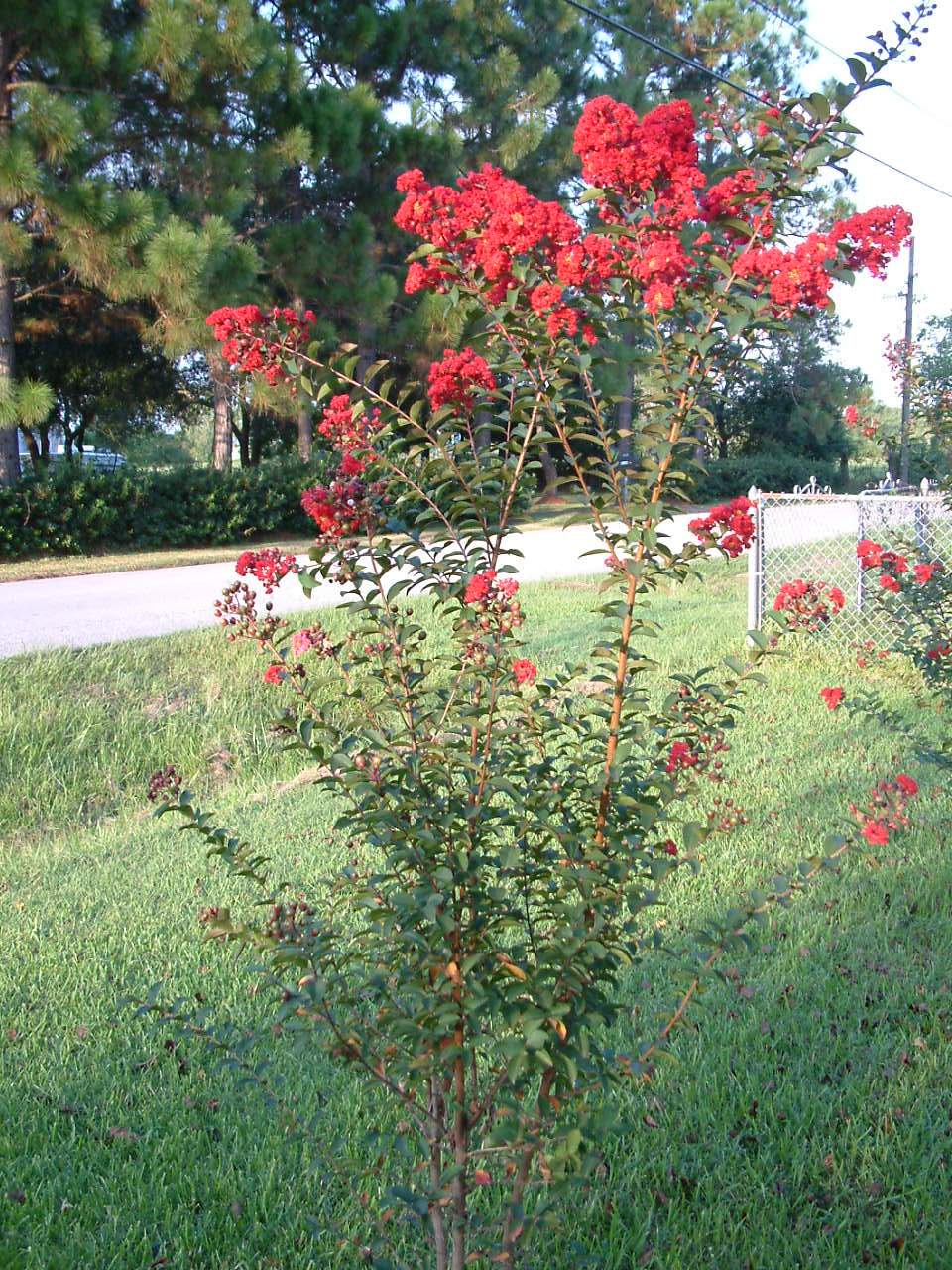 how to winterize crape myrtle garden guides