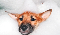 Keep the shampoo out of your puppy's eyes, nose, mouth and ears.