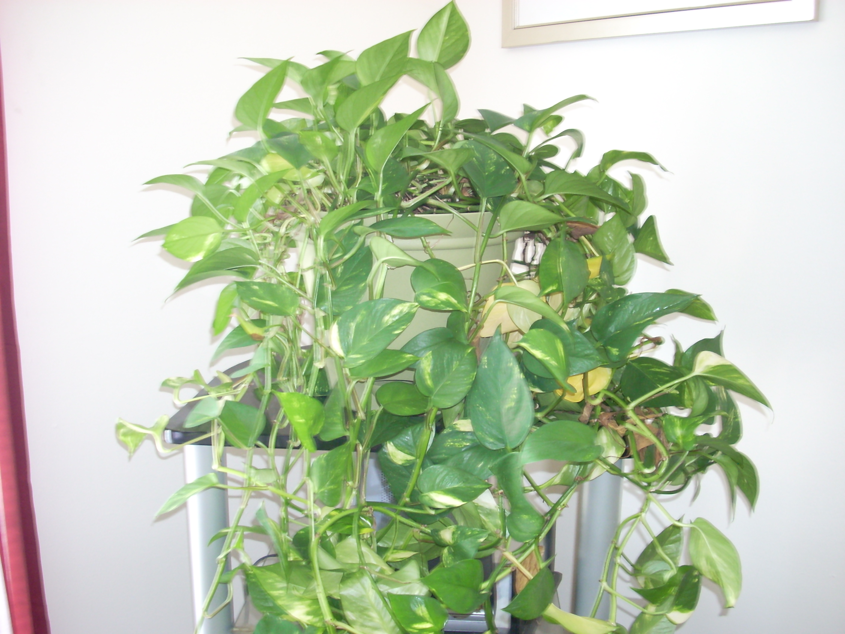 simple house plants vines to inspiration decorating