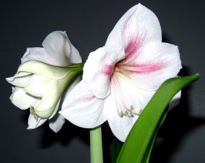 Beautiful White Amaryllis Flowers