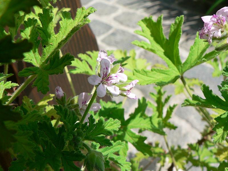 7 Daftar Tanaman Yang mampu Mengusir Nyamuk