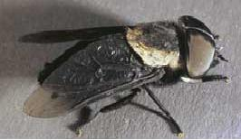 horse flies & diseases transmit humans : Overview :