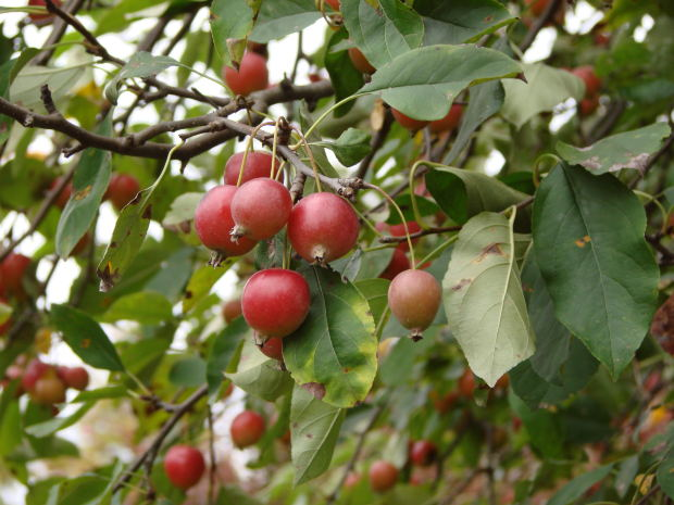 Keywords: prune dwarf fruit trees, prune fruit trees, trim fruit trees