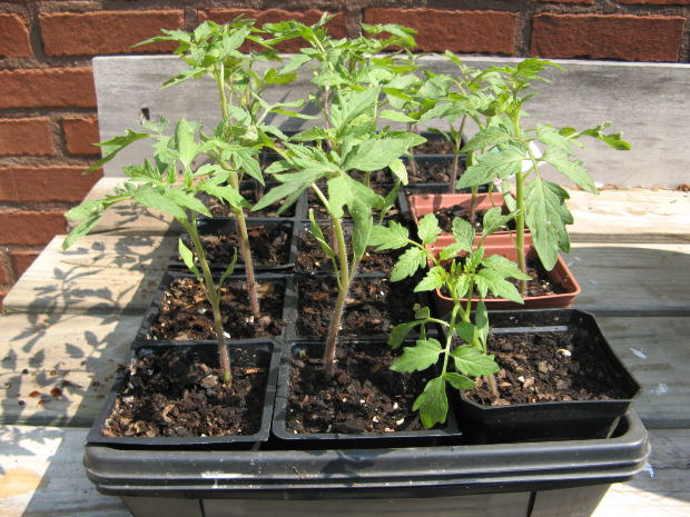 How To Make Tomato Seeds Germinate | Garden Guides
