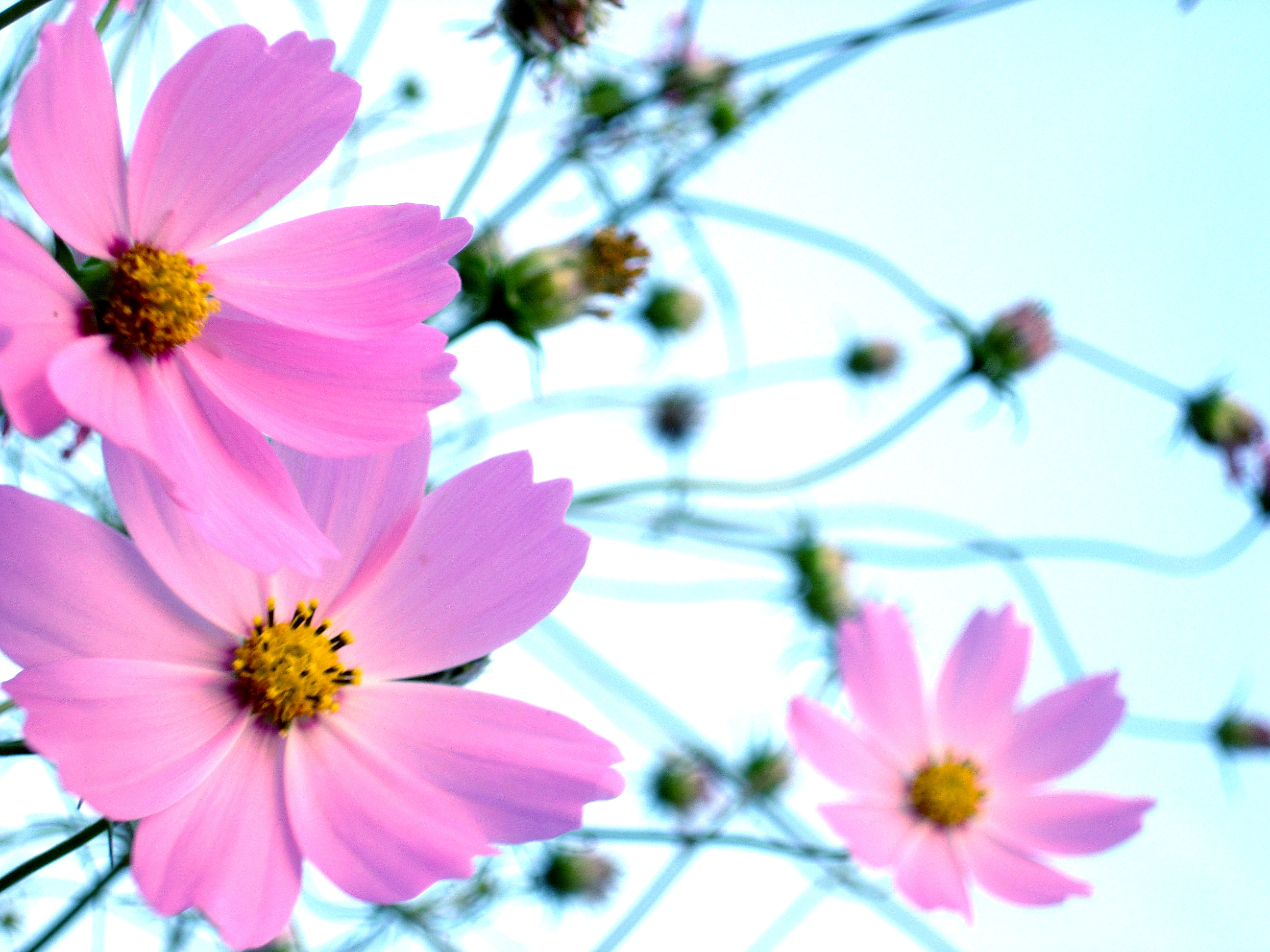 How to Grow Cosmos Flowers | Garden Guides