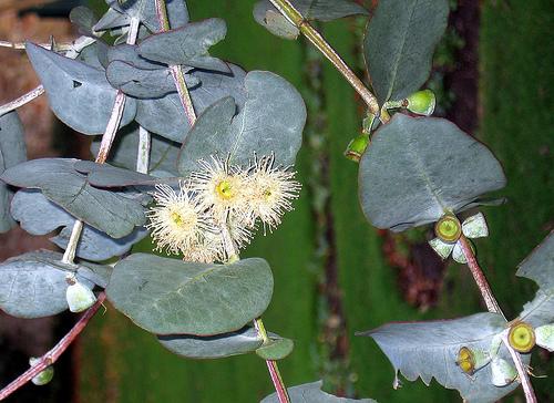 How To Grow Eucalyptus Indoors