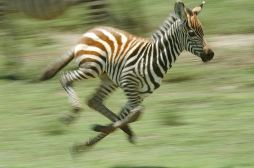 zebras running from predator - photo #25