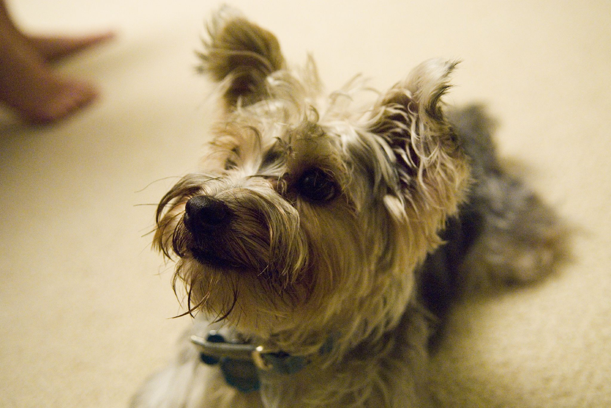 What Are Yorkie Poos? | eHow UK