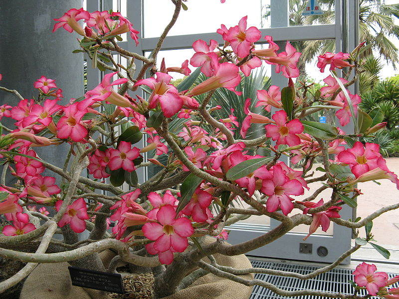 How to Care for Adenium Obesum  Garden Guides