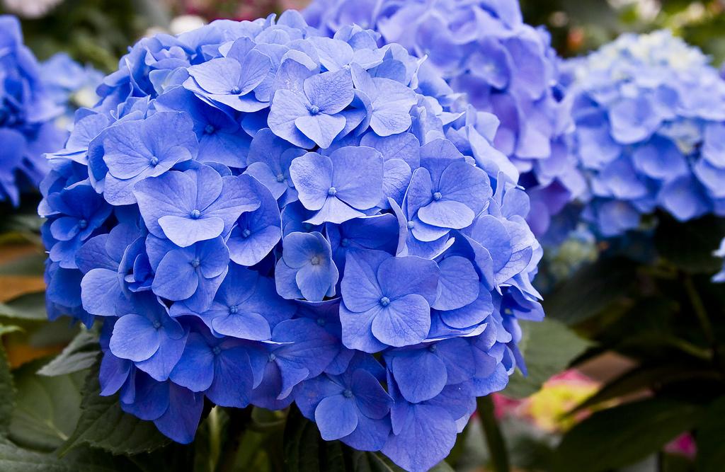 How To Make Hydrangeas Blue