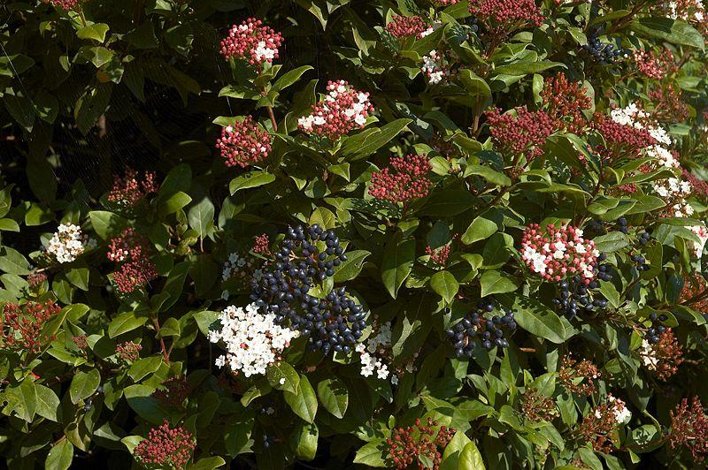 how to prune viburnum tinus garden guides. Black Bedroom Furniture Sets. Home Design Ideas