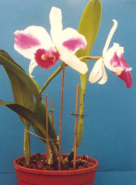 How To Care For Cut Cattleya Orchids Garden Guides