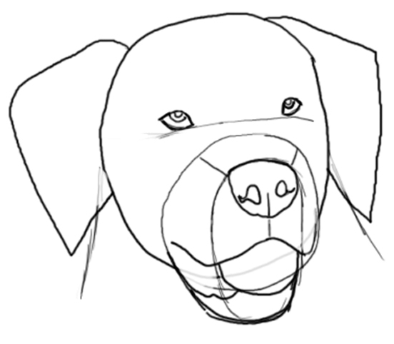 how to draw a golden retriever head step by step