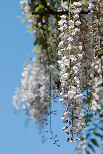 How To Plant White Wisteria Garden Guides