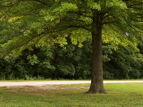 What Kind Of Grass Will Grow Under Oak Trees : Shade trees cool the landscape on a hot day image by drstarbuck