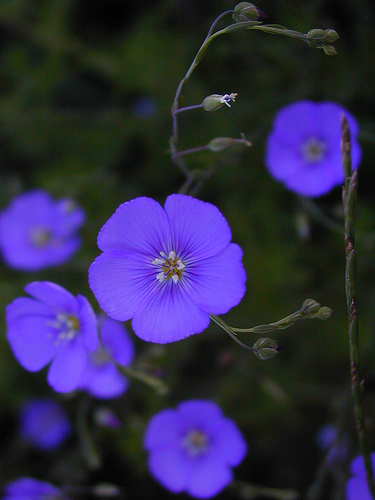 how to grow blue flax seeds