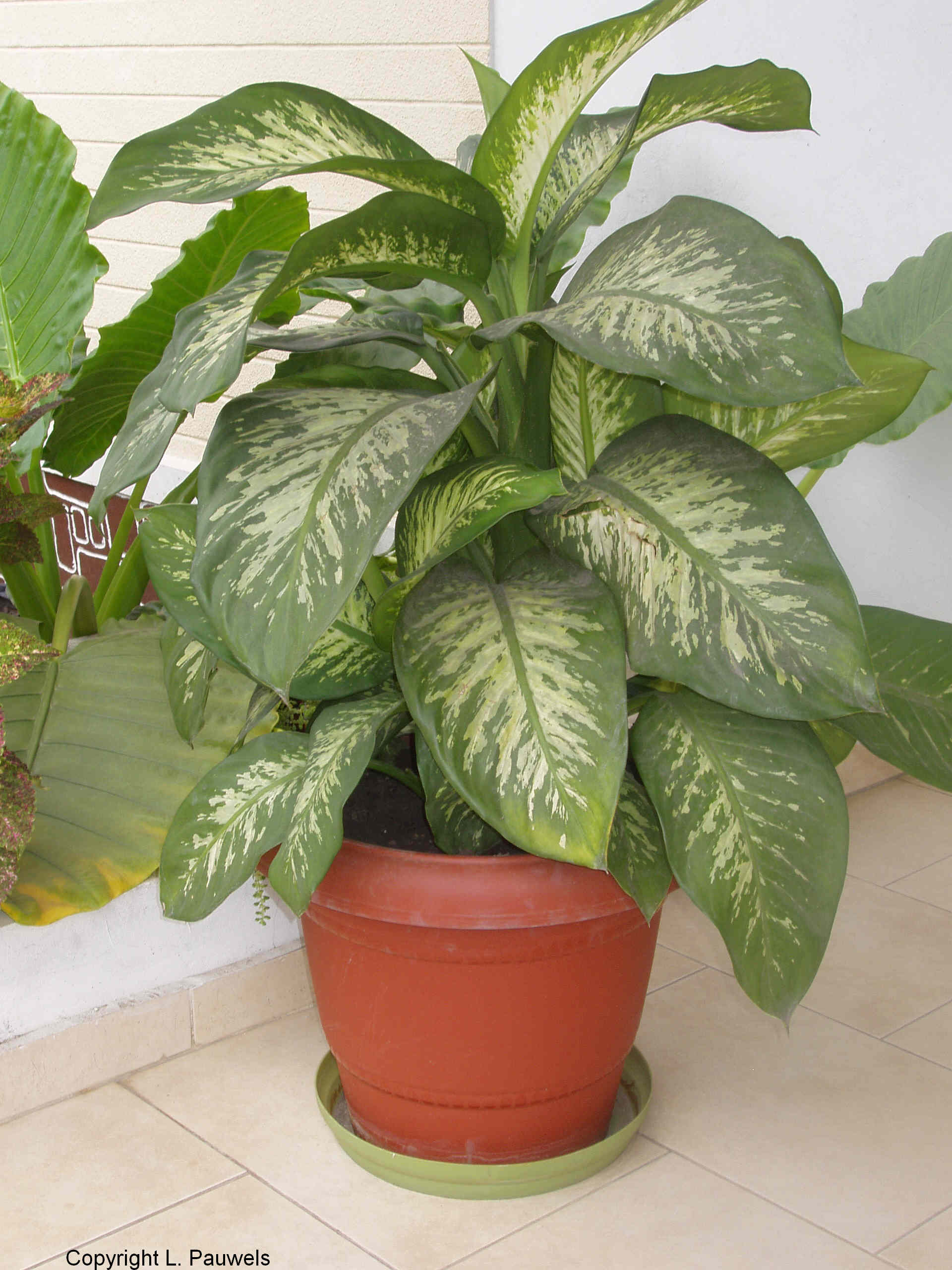 232311 Different Types Of House Plants Ffenbachia on