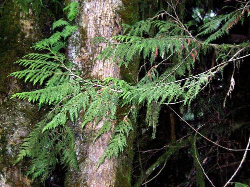 Cedar Tree Varieties ~ Woodwork type of cedar pdf plans