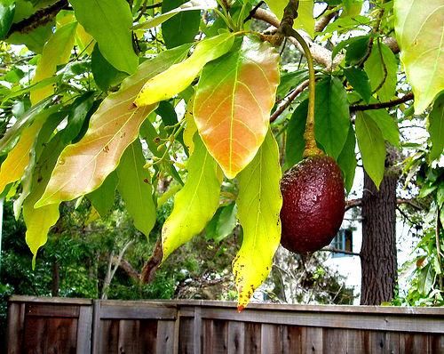 how to grow avocado garden guides. Black Bedroom Furniture Sets. Home Design Ideas