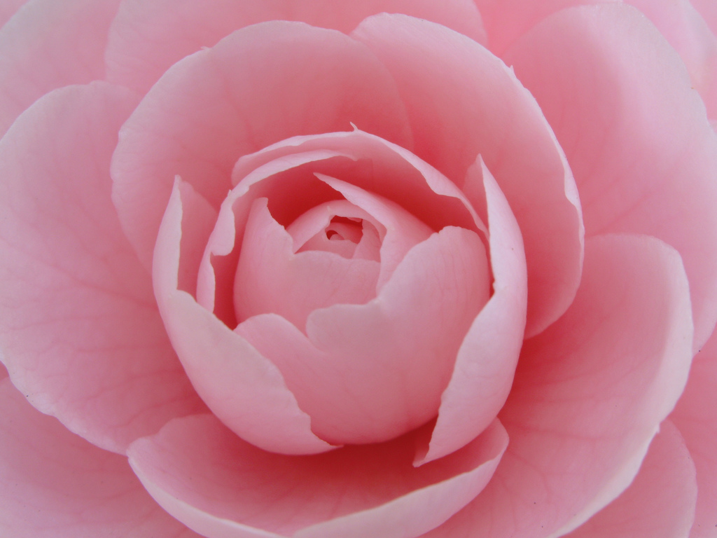 Camellia flower information garden guides for Camelie bianche
