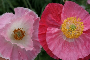 How Long Does It Take To Grow Papaver Somniferum Garden