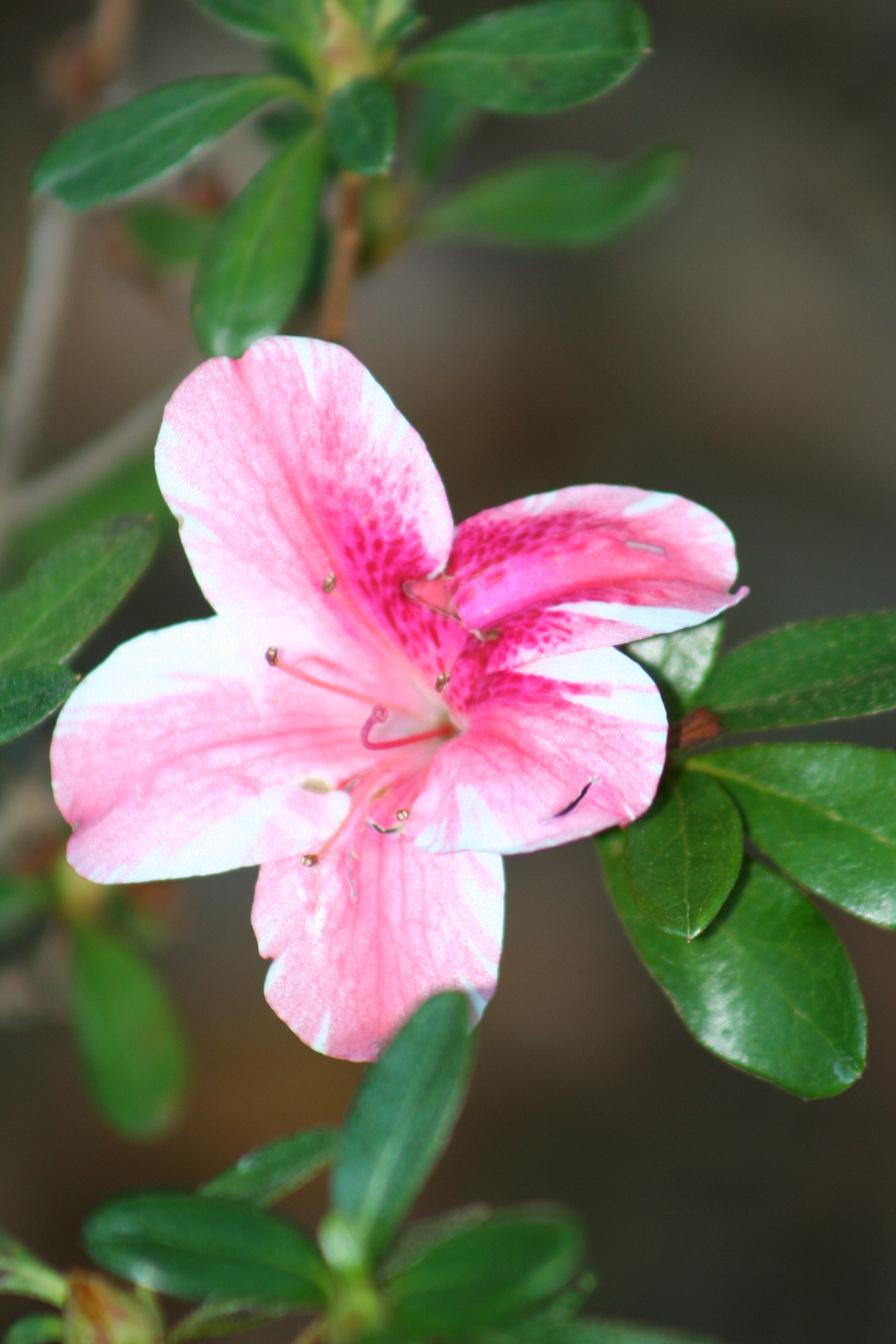 Azalea plants information ehow uk - Care azaleas keep years ...