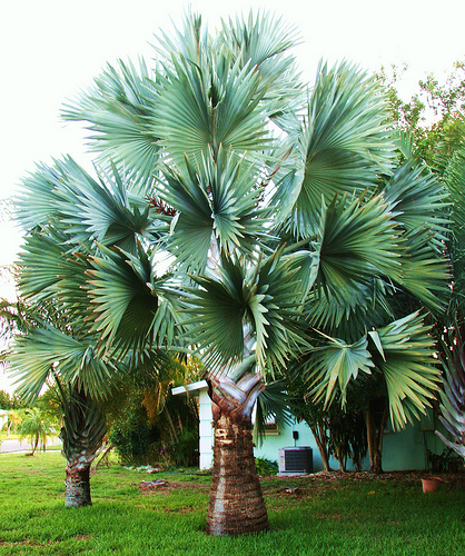 Como plantar palmeira bismarckia ehow brasil for Small tree varieties