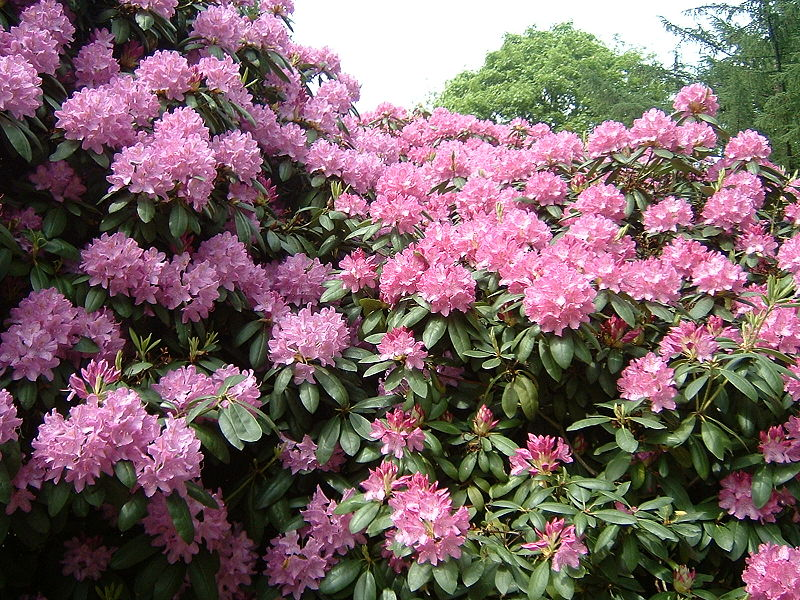 How to plant rhododendron flowers garden guides for How to care for rhododendrons after blooming
