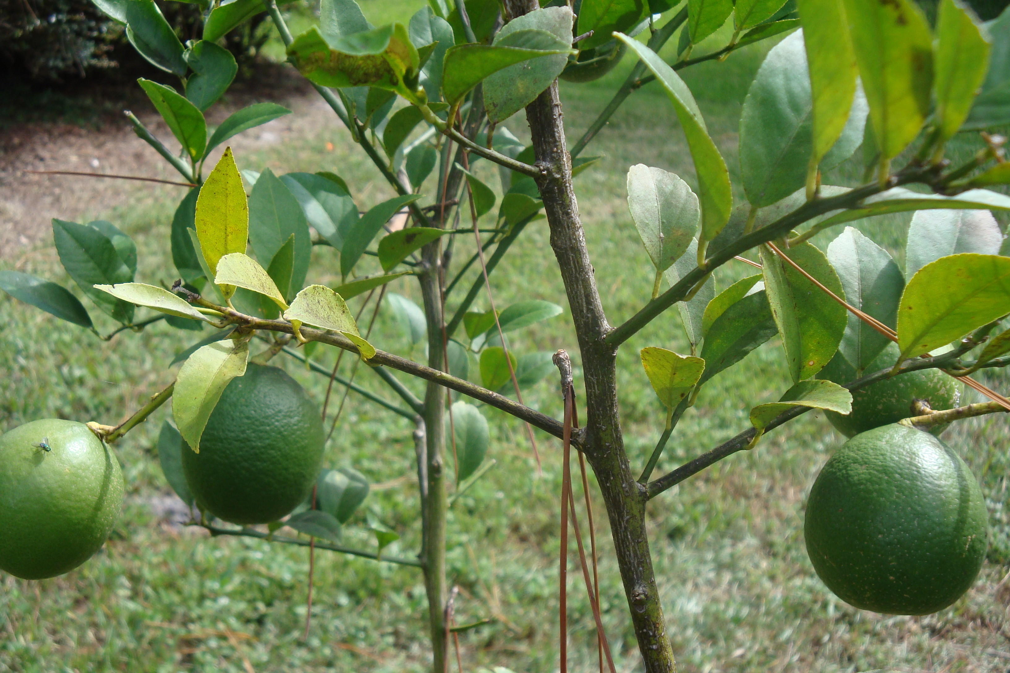 Lemon trees problems garden guides for What does a lemon tree seedling look like