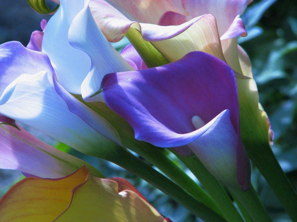 when do you plant calla lilies garden guides. Black Bedroom Furniture Sets. Home Design Ideas