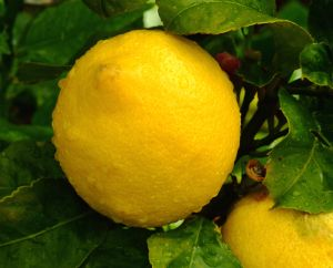 how to grow a lemon tree indoors garden guides. Black Bedroom Furniture Sets. Home Design Ideas