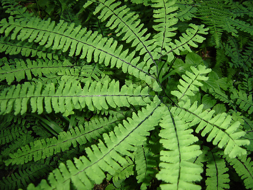 how to care for maidenhair fern garden guides. Black Bedroom Furniture Sets. Home Design Ideas