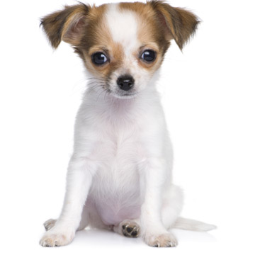 How To Train A Puppy To Sit Daily Puppy