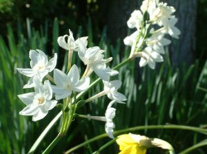 How To Care For Paperwhite Flower Bulbs Garden Guides