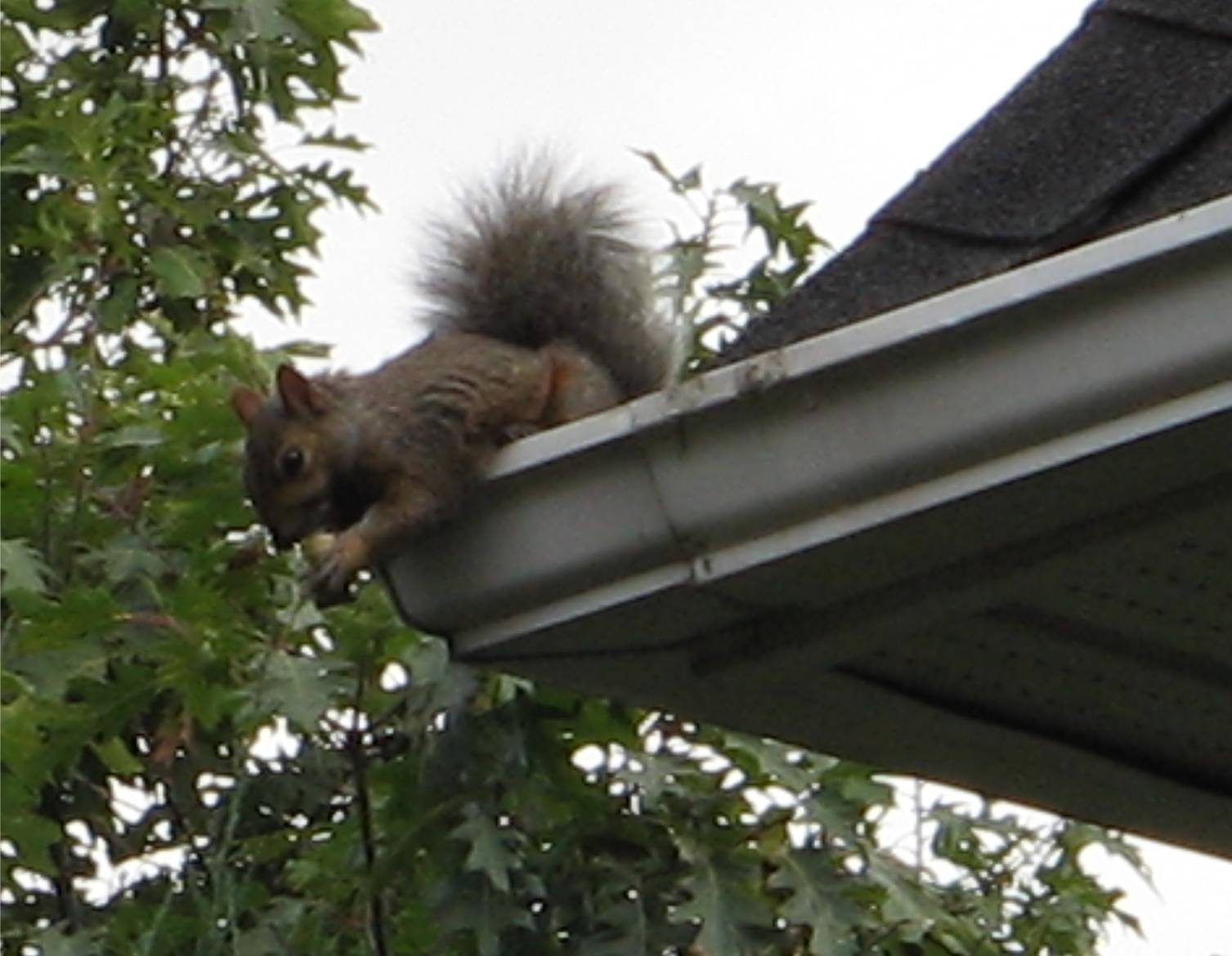 How To Keep Squirrels Out Of The Attic Ehow Uk