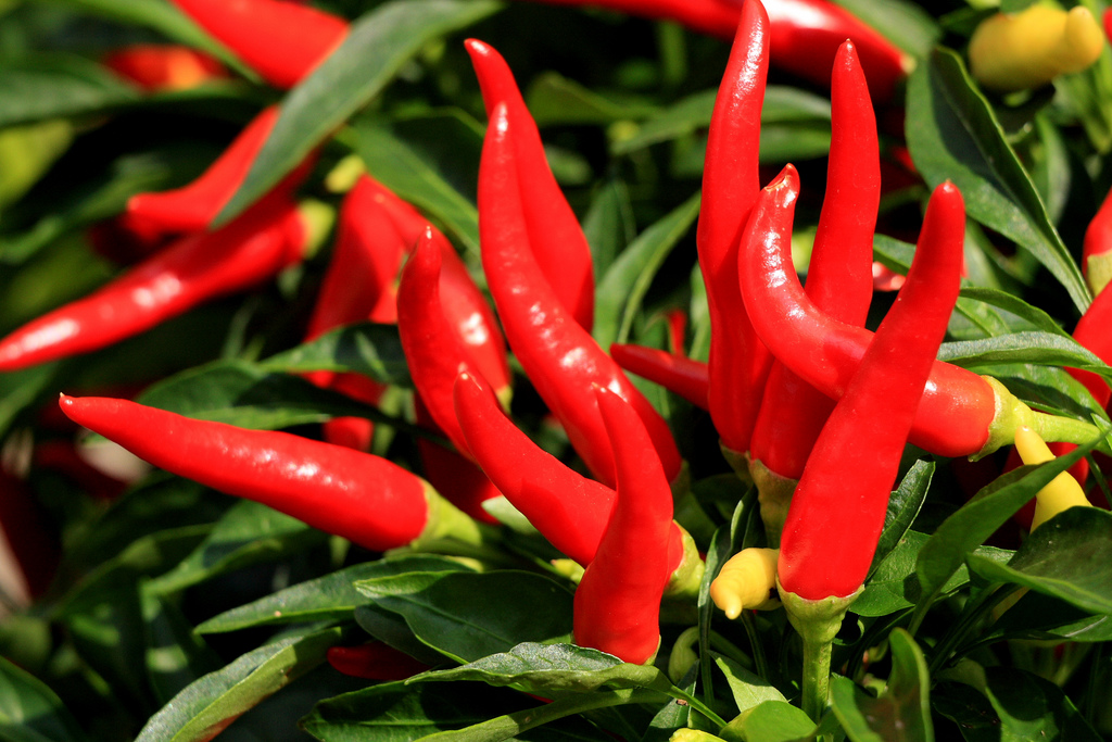 How to grow cayenne peppers from seed garden guides - Planting pepper garden ...