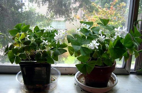 Caring for a shamrock plant garden guides - Shamrock indoor plant ...