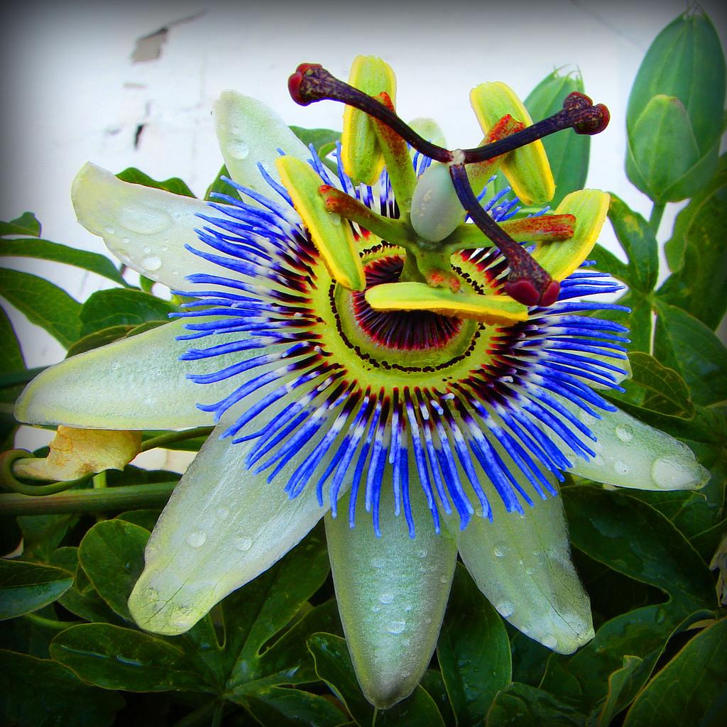 Passion Flower Habitat