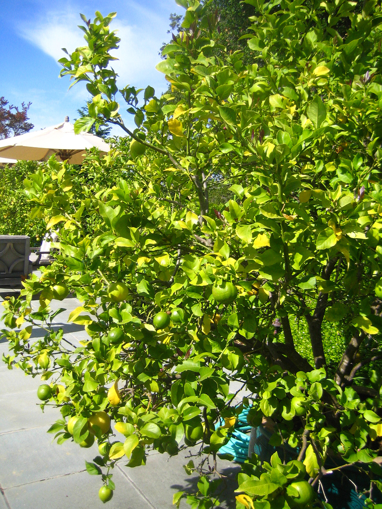 Lime trees facts garden guides - What is lime used for in gardening ...