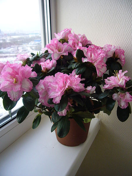 How To Care For Indoor Azaleas