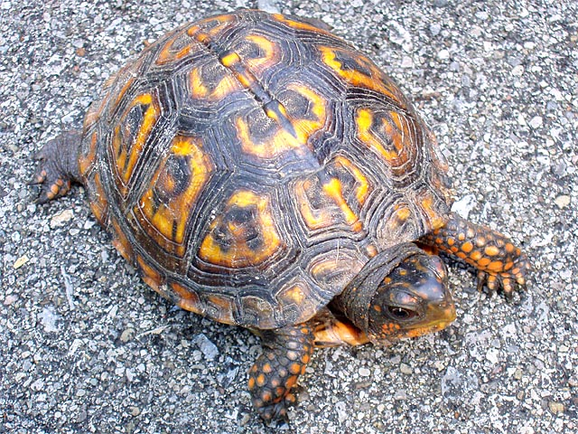 ZOO ANIMALS AND PETS: types of pet turtles