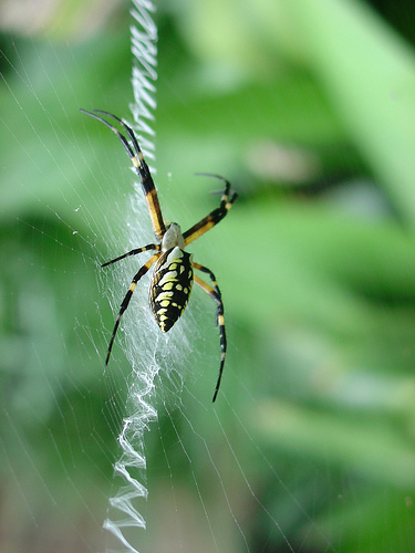 black and yellow garden spider bite image search results