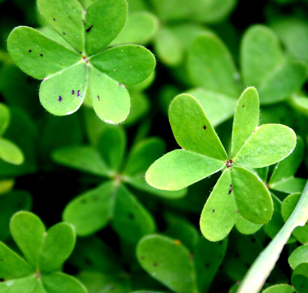How does an irish shamrock houseplant grow ehow uk - Shamrock indoor plant ...
