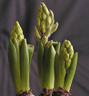 How to grow indoor hyacinths garden guides - Planting hyacinths indoors ...