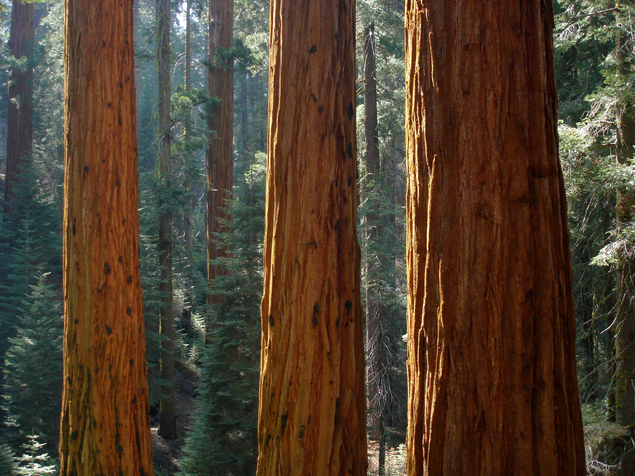 How To Grow Redwoods Garden Guides