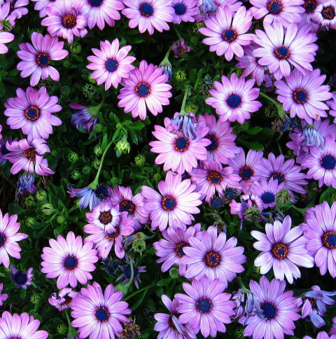 African daisy flowers close at night image by photofinish2009 flickr