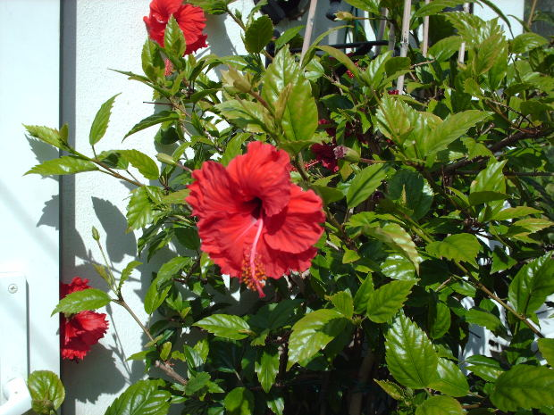 hibiscus plant problems garden guides. Black Bedroom Furniture Sets. Home Design Ideas
