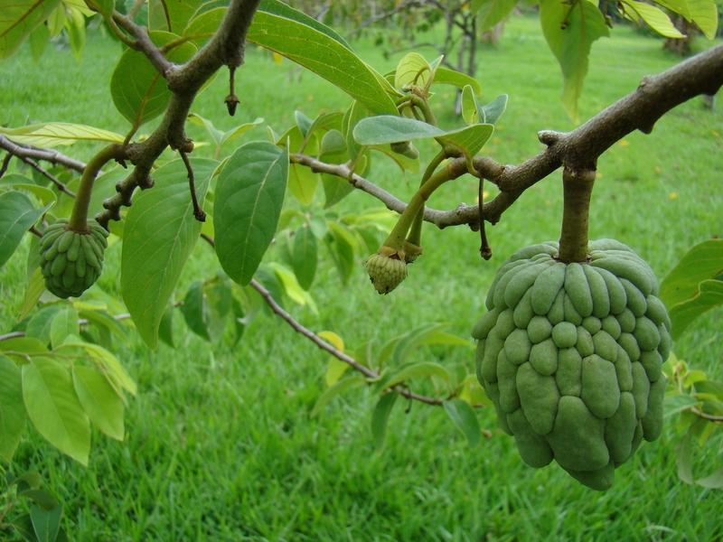 Sugar Apple Flower | www.imgkid.com - The Image Kid Has It!