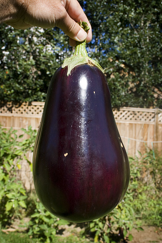How To Care For Eggplant Garden Guides