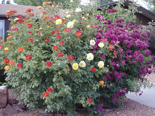 How Far Apart To Plant Rose Bushes Garden Guides